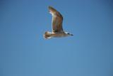 Gabbiano in volo nel cielo blu
