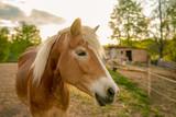 Haflinger horse at a horse farm - 231201344