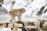 animals, nature and wildlife concept - japanese macaque or snow monkey at hot spring of jigokudani park - 231201543