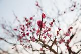 nature, botany, gardening and flora concept - close up of beautiful sakura tree blossoms