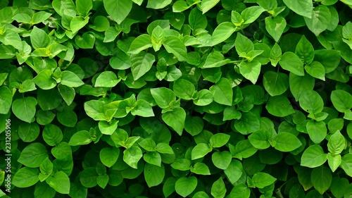 little green leaf in nature - closeup - 231205906