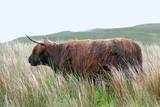 vache écossaise - 231207587