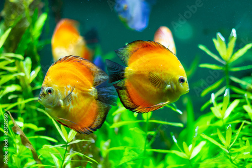 Leinwandbild Motiv exotic yellow fish in the water