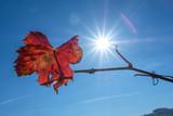 Weinlaub rot mit Sonne mit Sonnenstrahlen - 231234105