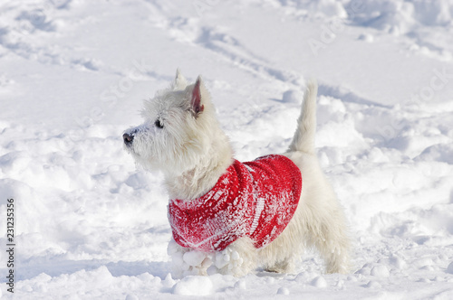 West Highland White Terrier standing sideways in the snow with a pullover on - 231235356