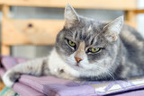 The green-eyed cat lies on a chair and looks into the camera. - 231240771