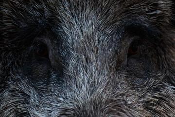 Wildschweinaugen
