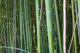 Bamboo. Green bamboo tree. Picture from forest bamboo tree. Bamboo forest texture sunlight.