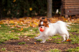 Papillon dog playing with his toy outdoors