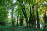 Sun shining through the canopy of green leaves in the evening sun. Forest with tall green trees - 231280108
