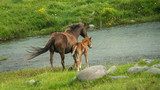 Wild horses mare and foal running across the river in Kaimanawa ranges - 231293113