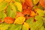 beech leaves in autumn - 231294535