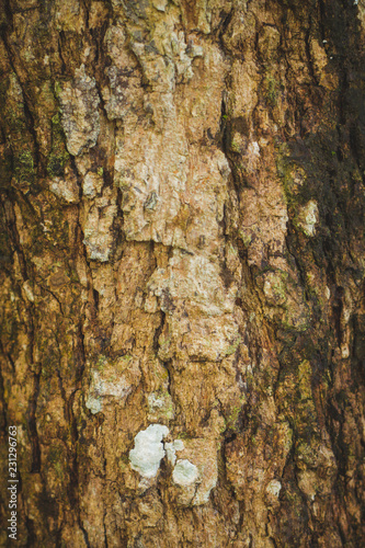Bark of tree, Beautiful of bark in the forest, Beautiful of bark Background. - 231296763