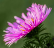 Purple flower of aster.