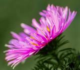 Purple flower of aster. - 231305934