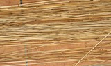 Cañas cortadas preparadas para la elaboración de cestas, en Huelva, España. - 231306384