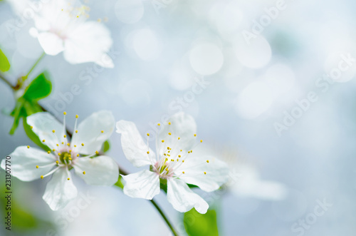Foto Murales white cherry tree flower in spring