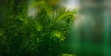 Aquatic plant - elodea in aquarium. Selective focus.