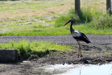 A dirty stork is standing in a meadow and looking for food - 231310957