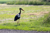 A dirty stork is standing in a meadow and looking for food