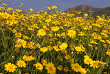 Field of Yellow Daisies in Andalusia with mountain in distance