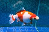 White ornamental fish in aquarium