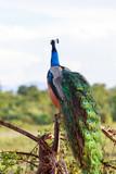 paon dans un parc animalier du sri lanka la perle de l'inde - 231340355