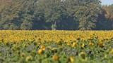 Sonnenblumenfeld mit Phacelia im herbstlichen Reinhardswald