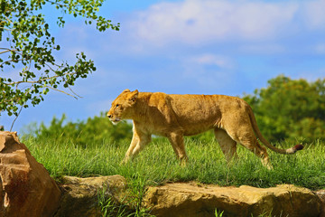 Lionne © llaurent789