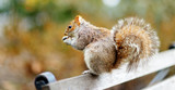 Eastern gray squirrel in Central Park in New York