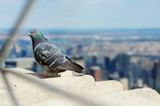 Pigeon sitting on the observation deck of Empire State Building. - 231378923