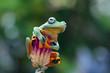 Javan tree frog on branch, flying frog, rhacophorus reinwardtii