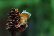 Javan tree frog on branch, flying frog, rhacophorus reinwardtii