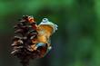 Leinwanddruck Bild - Javan tree frog on branch, flying frog, rhacophorus reinwardtii