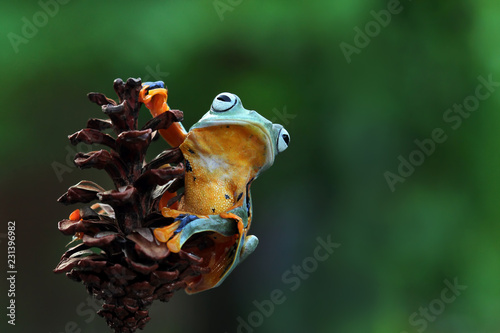 Leinwanddruck Bild Javan tree frog on branch, flying frog, rhacophorus reinwardtii