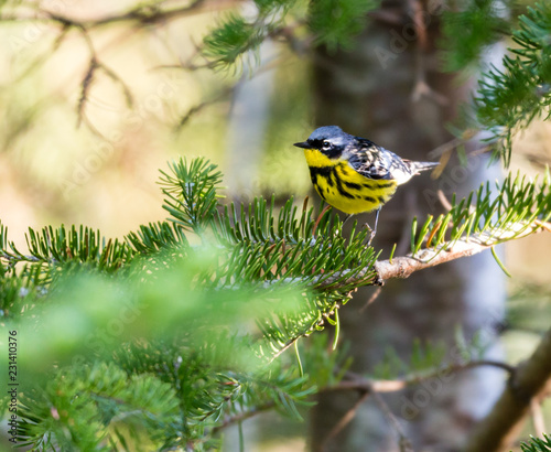 Magnolia Warbler Deep In A Boreal Forest North Quebec Canada Buy
