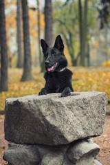 Pies, czarny owczarek niemiecki stojący przy kamiennym postumencie w parku