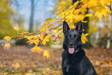 Portret psa, czarnego owczwarka niemieckiego wśród jesiennych liści w parku