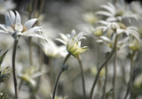 Close up of a stand of wild Australian native flannel flowers, Actinotus helianthi, growing after a bushfire in Kamay Botany Bay National Park, Sydney, New South Wales, Australia.  - 231427750