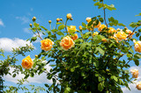 Bush yellow garden roses (Golden Celebration) against  blue sky - 231446171