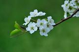 Pear flower blooming in spring - 231452907