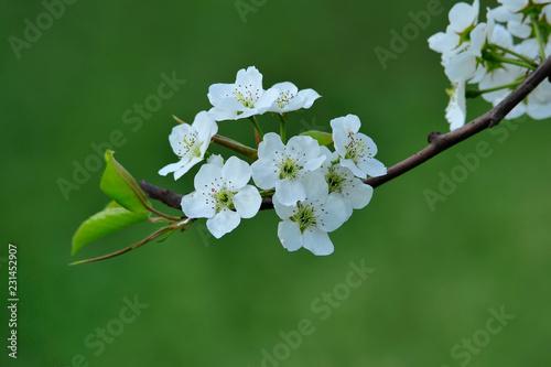 Foto Murales Pear flower blooming in spring
