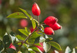 Leinwanddruck Bild - Red rosehip berries in a vegetable garden