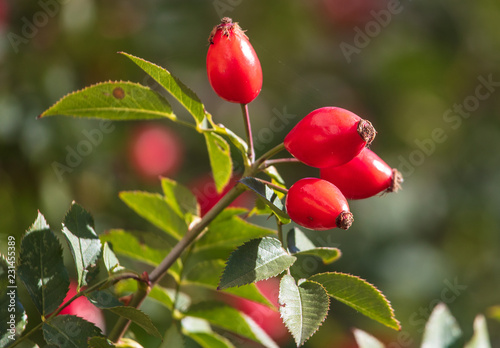 Leinwanddruck Bild Red rosehip berries in a vegetable garden