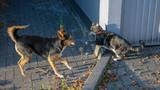 Schäferhund-Mix und Hauskatze beim gemeinsamen spielen - 231459199