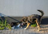 Schäferhund-Mix und Hauskatze in freundschaftlichen Spiel - 231459308