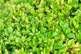 春の新緑の季節のツツジの、密集している多くの葉の写真