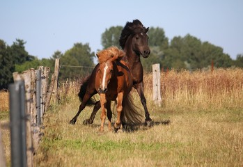 two funny and beautiful icelandic horses are running on a paddock in the sunshine