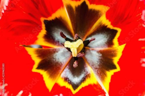 tulip macro - 231463380