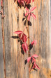 Colorful Autumn Virginia Creeper, Wild Grape Background. Abstract Purple, Red and Orange Autumn Leaves on the wooden Background. - 231469355
